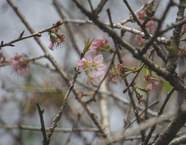 Musim Semi Di Kebun Raya Cibodas